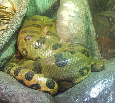 Not an Anaconda