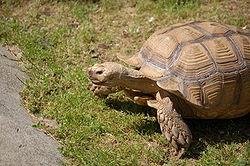 250px-Turtle3m