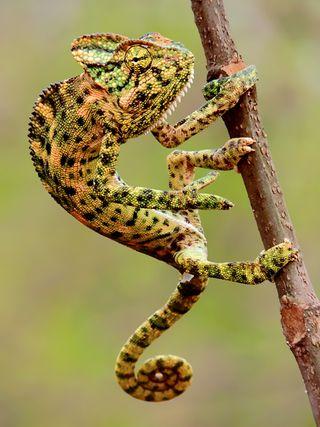 Indian_Chameleon_(Chamaeleo_zeylanicus)_Photograph_By_Shantanu_Kuveskar