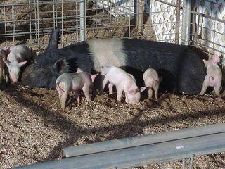 Little_Piggies (1)