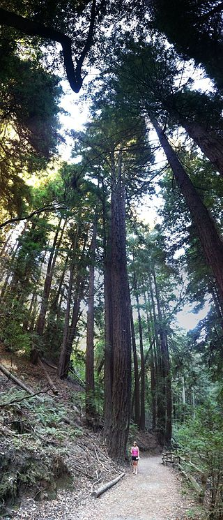 320px-Redwood_tree_in_Oakland_California_(person_for_comparison)IMG_4881