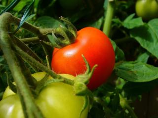 Tomato-1325874