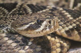 Eastern-diamondback-rattlesnake-1616625
